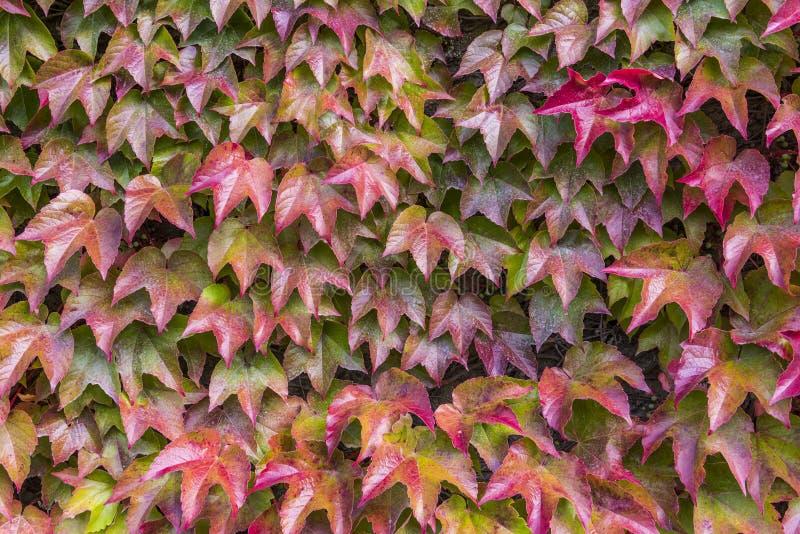 Картина осени Creeper Вирджинии стоковые фото