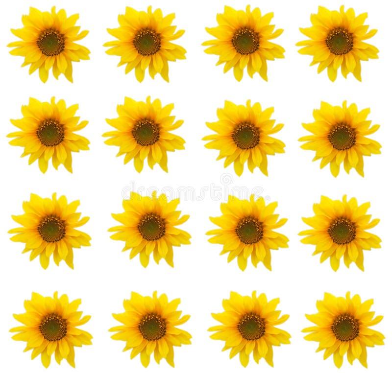 Картина предпосылки солнцецвета  стоковые фото