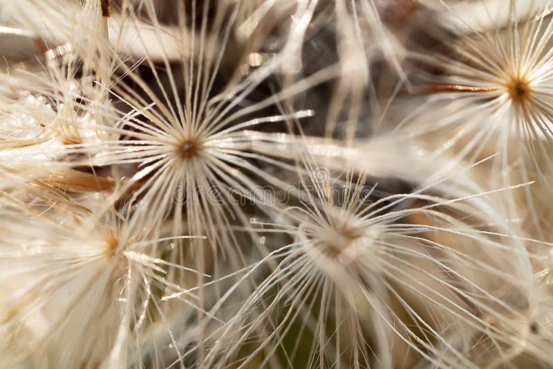 Картина семени Dendelion в черной белизне стоковые фотографии rf