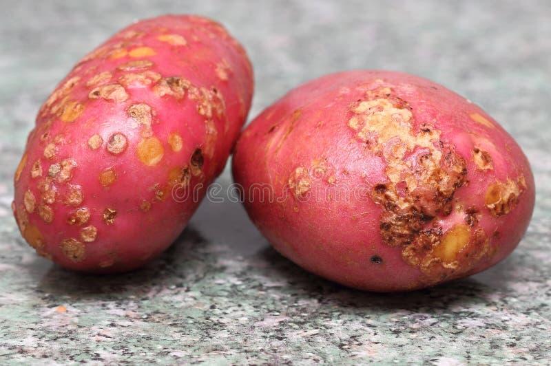 Картошка атакованная заболеванием стоковая фотография rf