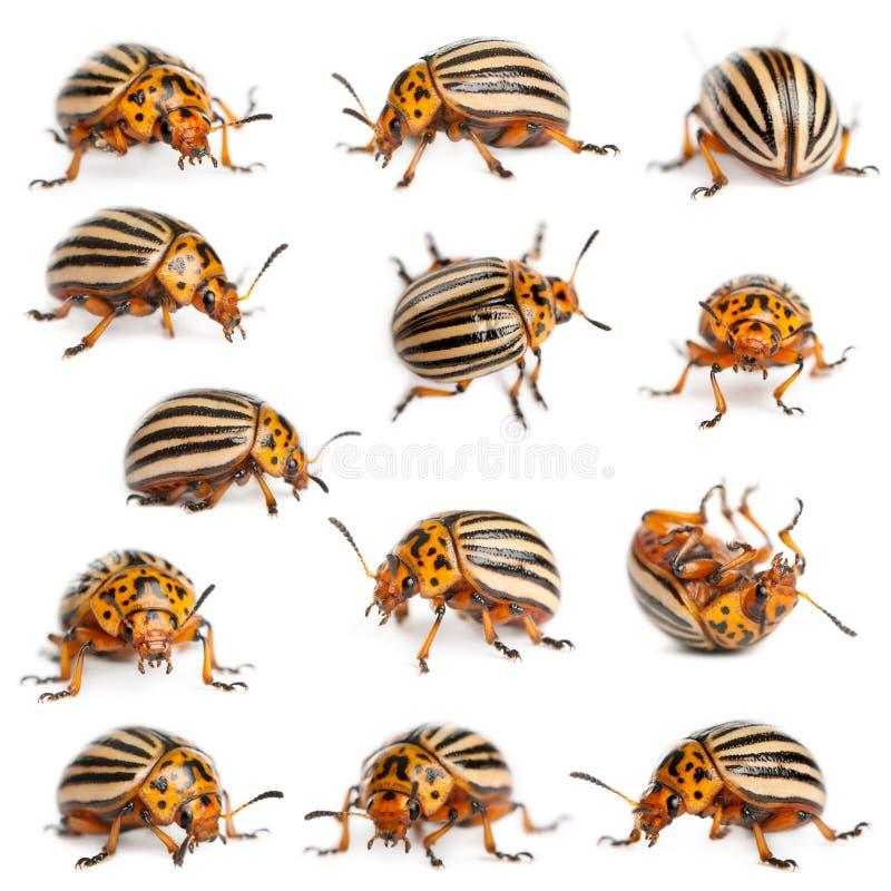 картошка состава colorado жуков стоковые фото