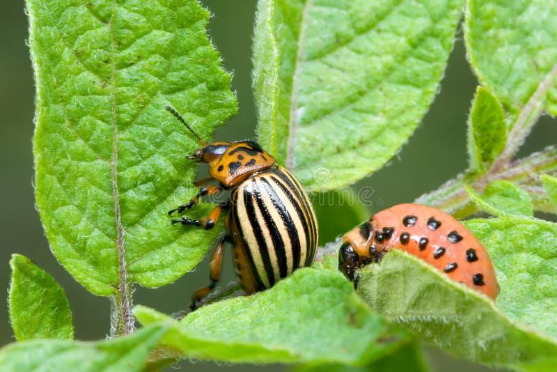картошка colorado жука стоковая фотография