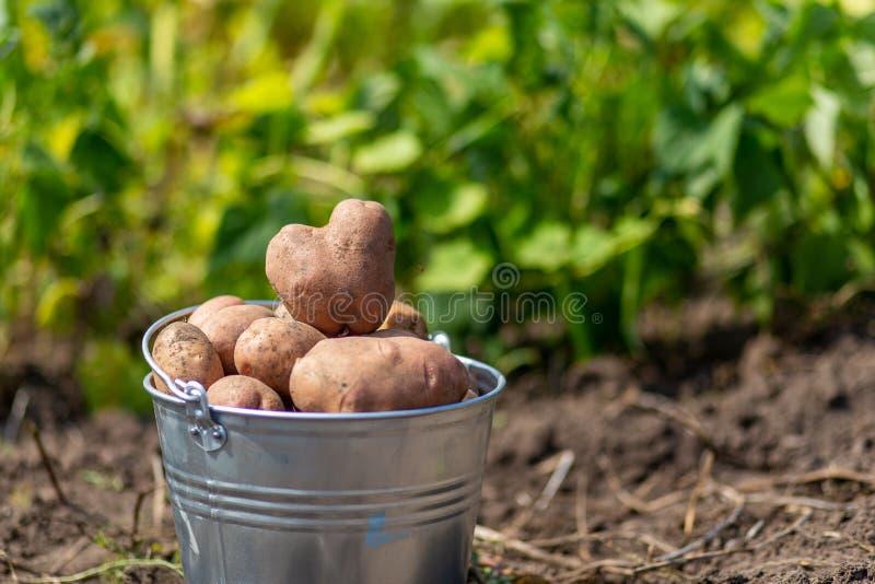 Картошки в ведре металла на огороде стоковые изображения rf