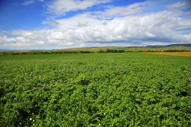 картошки поля стоковое фото rf