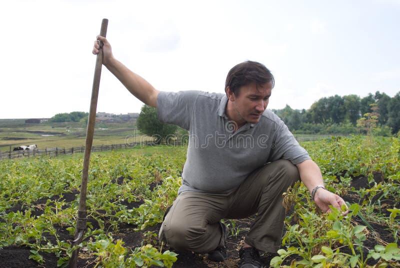 картошки человека поля стоковая фотография