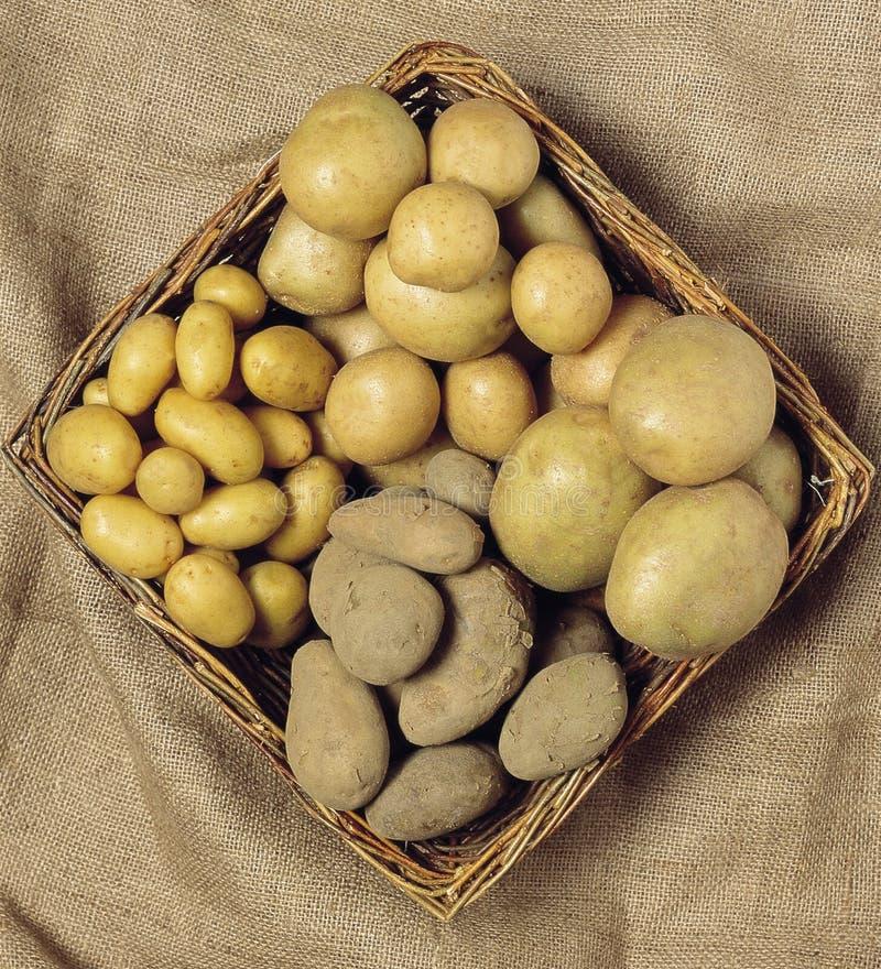 Картошки стоковые фотографии rf