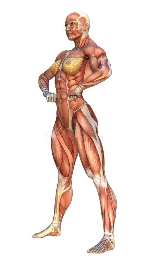 карты мышцы перевода 3D стоковые фото