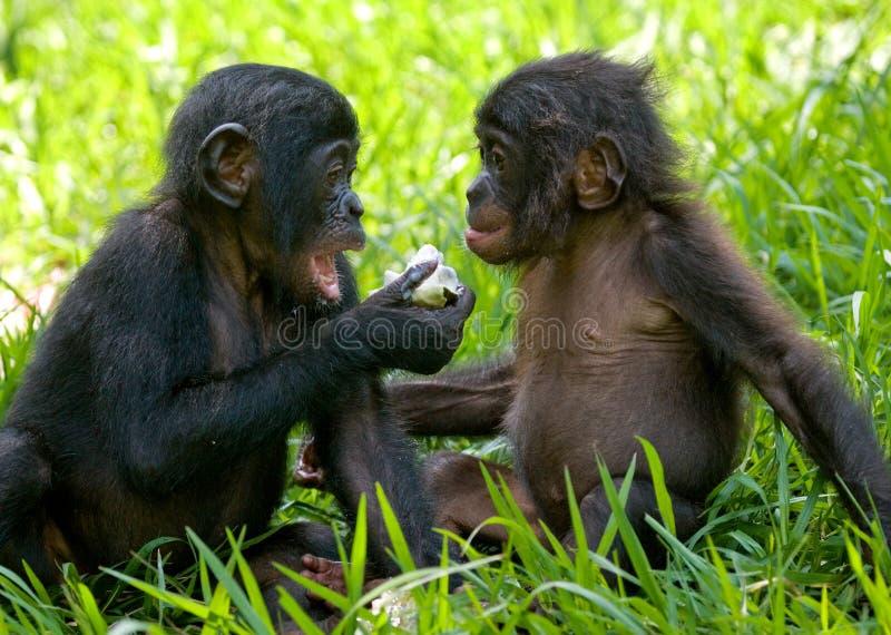 Карликовые шимпанзе есть бамбук демократическая республика Конго Национальный парк КАРЛИКОВОГО ШИМПАНЗЕ Lola Ya стоковые фотографии rf
