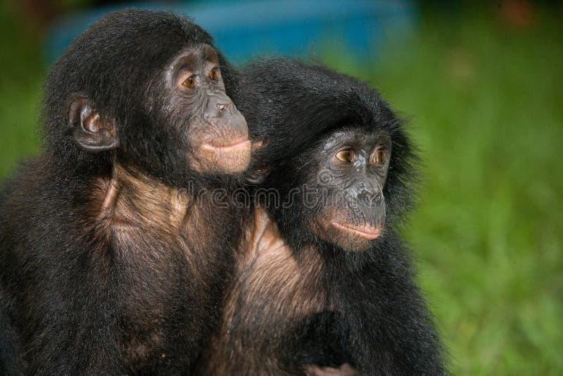 Карликовый шимпанзе 2 младенцев сидя на траве демократическая республика Конго Национальный парк КАРЛИКОВОГО ШИМПАНЗЕ Lola Ya стоковые фотографии rf