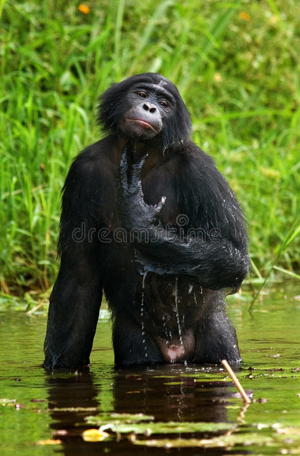 Карликовый шимпанзе сидя в воде в хорошем настроении демократическая республика Конго Национальный парк КАРЛИКОВОГО ШИМПАНЗЕ Lola стоковое фото rf