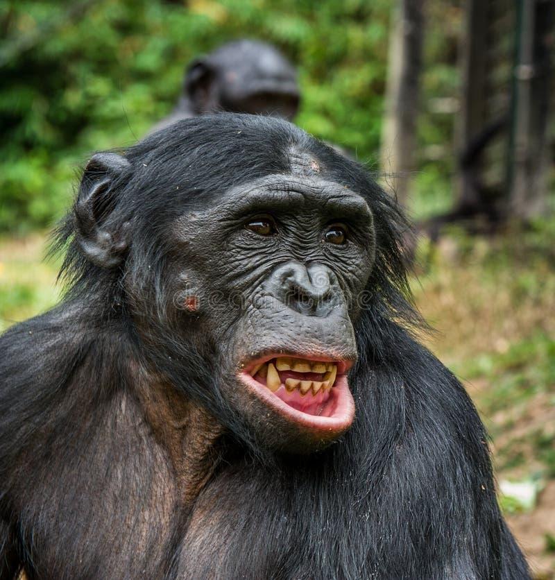 Карликовый шимпанзе с открытым ртом стоковая фотография