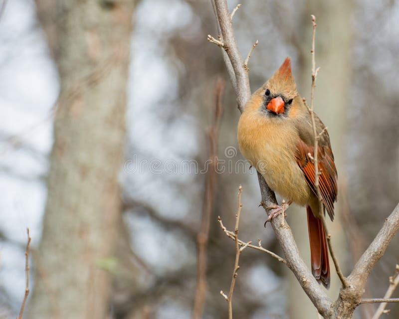 кардинальная женская северная стоковое фото