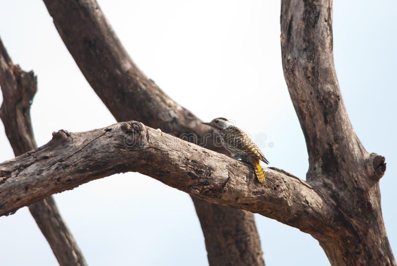 Кардинальный Woodpecker на дереве стоковые изображения rf