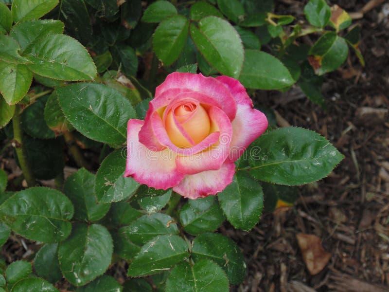 Касание пинка краснеет розовый стоковое фото rf