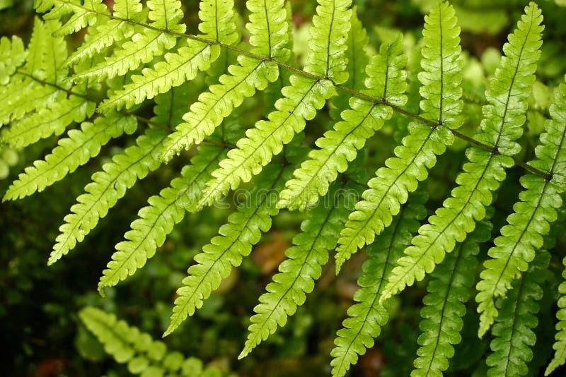 каскадируя листья папоротника стоковое изображение