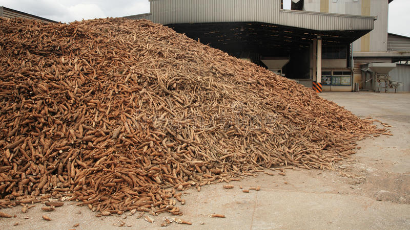Кассава подготовленная на фабрике муки тапиоки стоковое фото