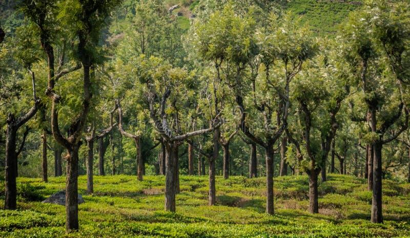 Кафе на открытом воздухе с резиновым деревом стоковые фотографии rf
