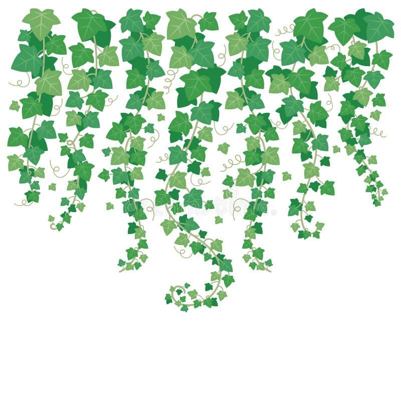 Качая зеленый плющ Лист заводов вися сверху Листья изолированные на иллюстрации предпосылки вектора стены белизны сада бесплатная иллюстрация