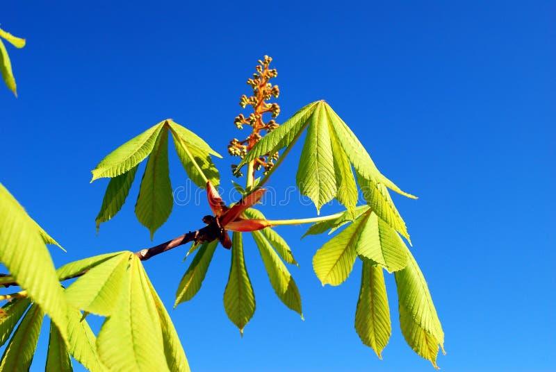 Каштан на времени весны и голубом небе стоковые фотографии rf