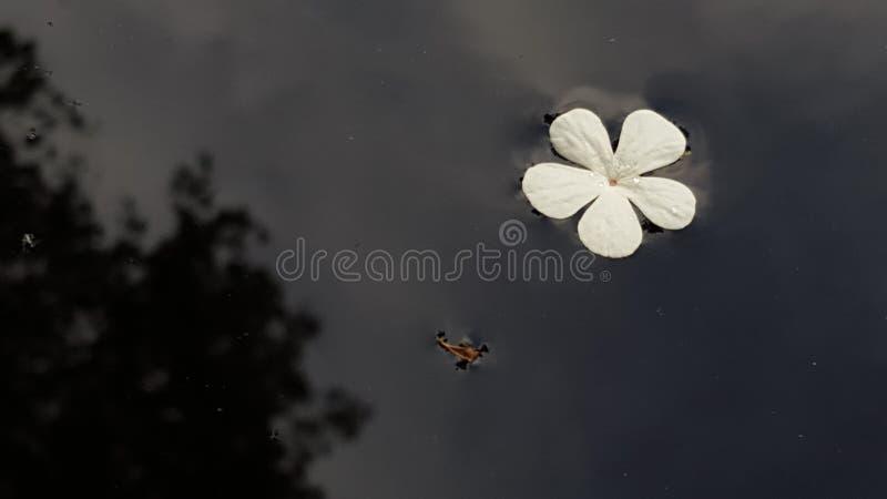 Калина цветка стоковое изображение rf