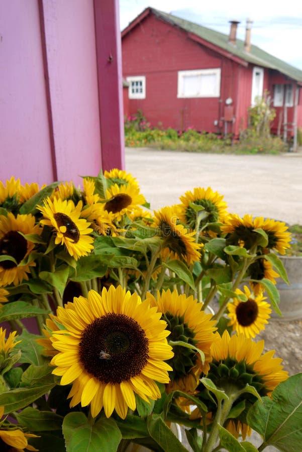 Калифорния: солнцецветы стойки фермы стоковое фото rf
