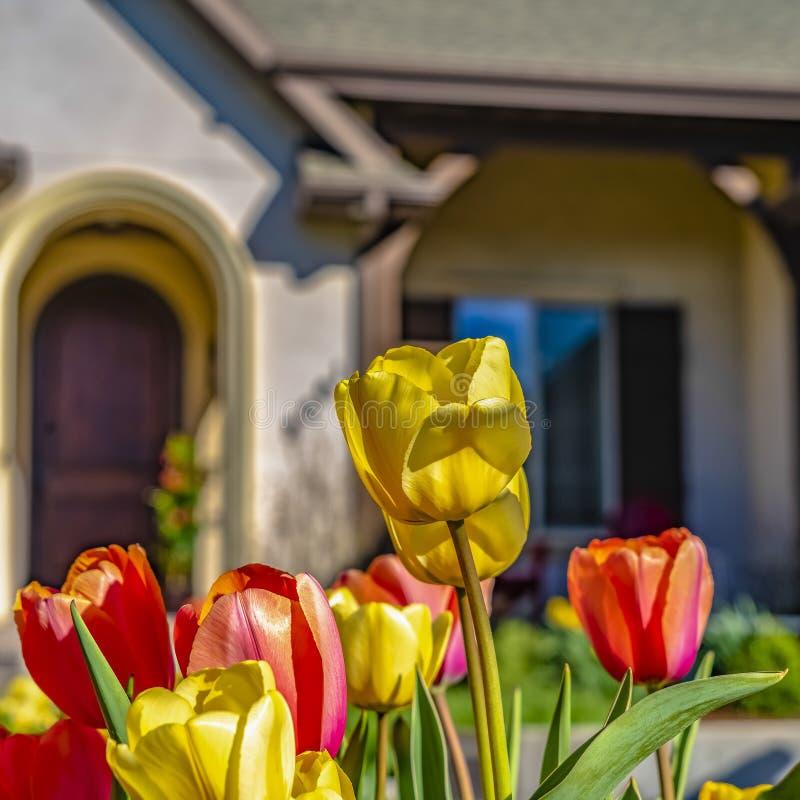 Квадрата ослеплять тюльпаны с живыми желтыми и красными лепестками зацветая под солнечным светом стоковые фото