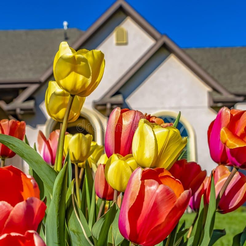 Квадратная группа ослеплять тюльпанов с сочной лужайкой и прекрасным домом на заднем плане стоковое фото