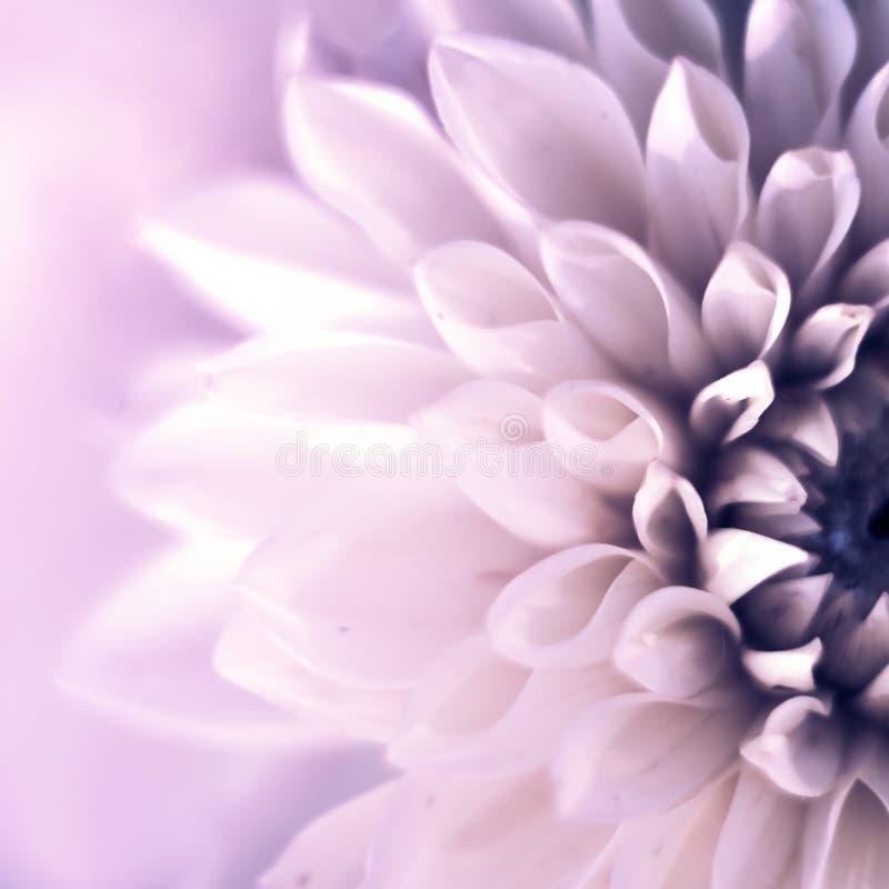 Квадрат взгляда сверху крупного плана красивого фиолетового цветка георгина с мягким фокусом Концепция поздравительной открытки стоковые фотографии rf