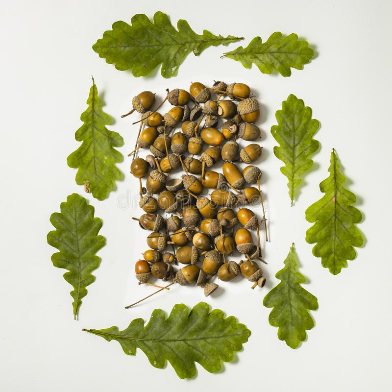Квадрат формы листьев и жолудей дуба стоковое изображение rf