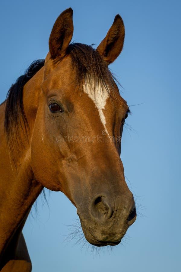 Квартальное изображение стороны лошади стоковые фотографии rf