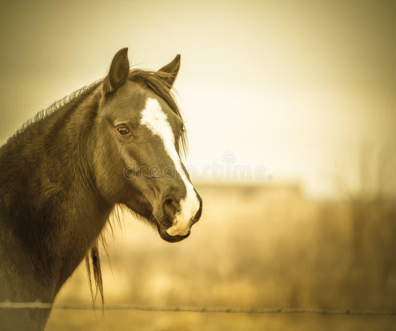 Квартальная лошадь - sepia стоковые изображения