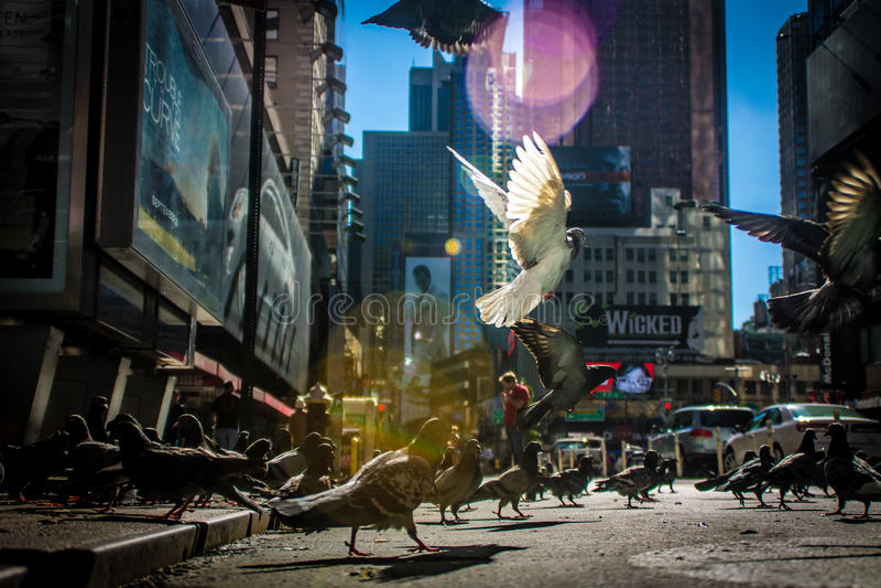 Квадрат голубей временами стоковые изображения