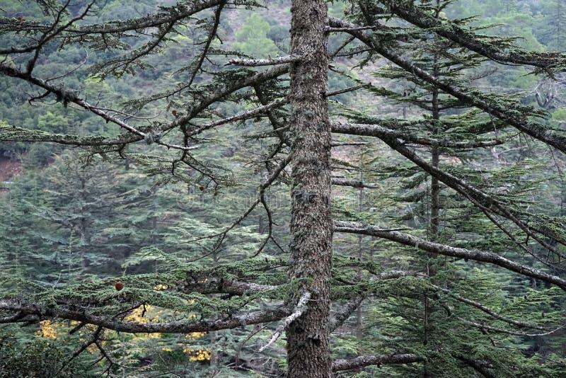 Кедр в долине кедра стоковая фотография