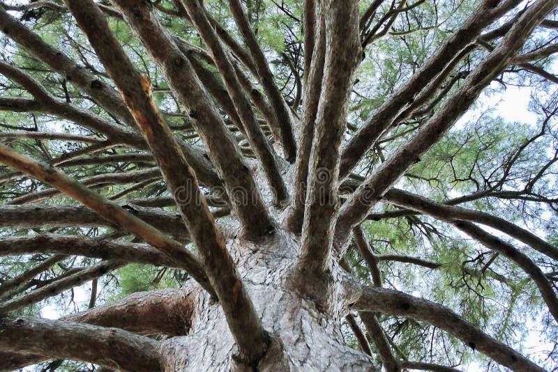 Кедр гималайский, взгляд из-под кроны стоковые фотографии rf