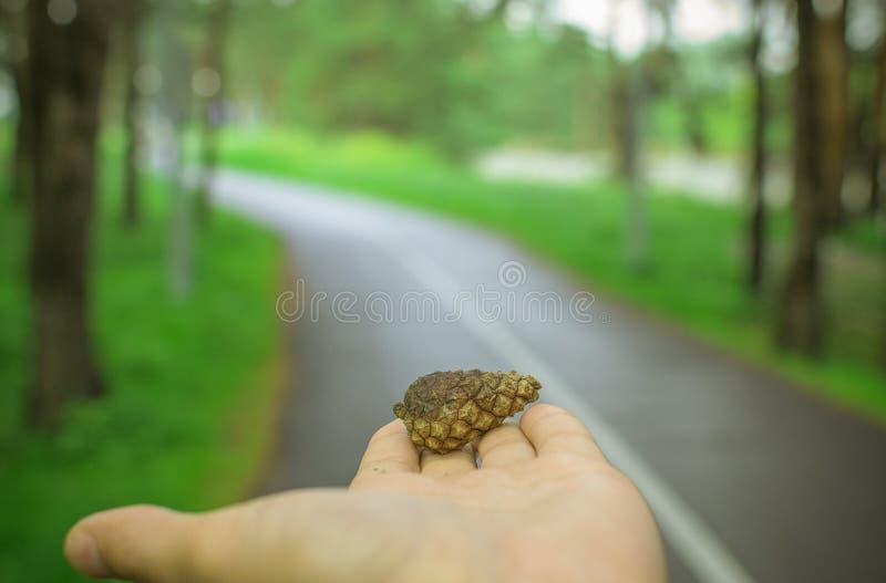 Кедр конуса в руке стоковая фотография