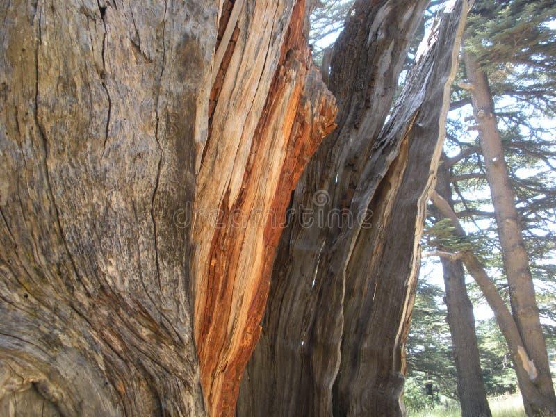 Кедр Ливана, деталь древесины кедра стоковое фото rf