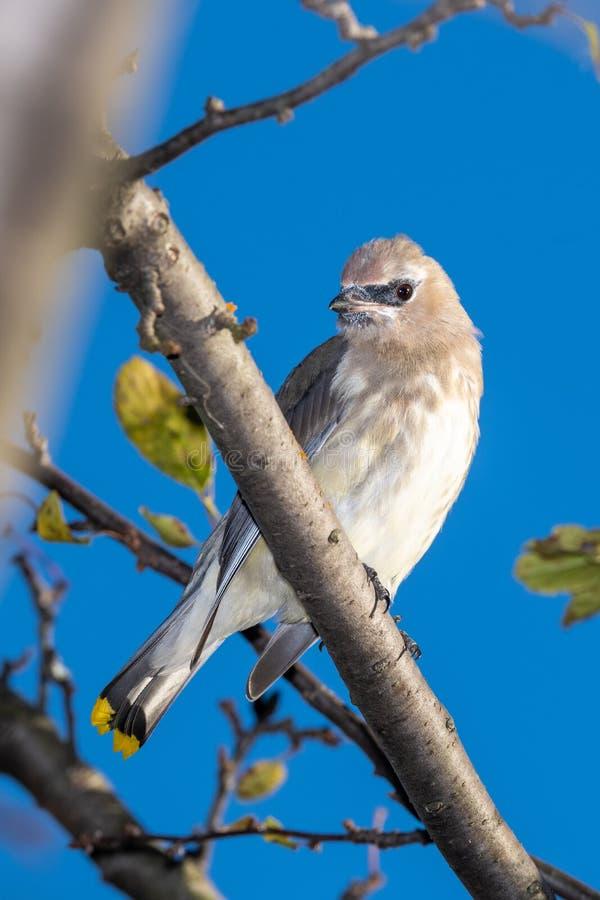 кедр птицы waxwing стоковое фото