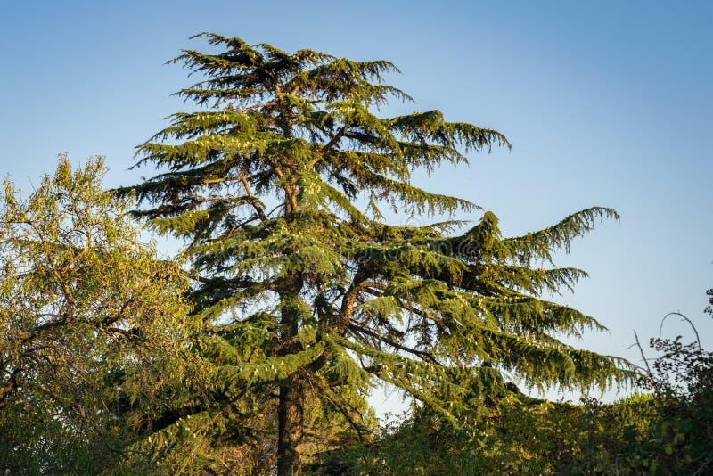 Кедр libani Cedrus дерева Ливана с ярким голубым небом как предпосылка стоковая фотография
