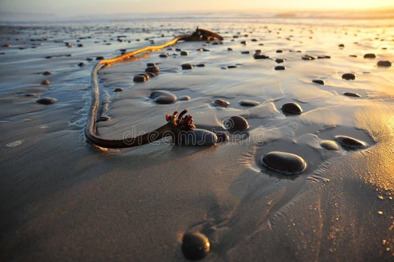 Келп моря стоковая фотография