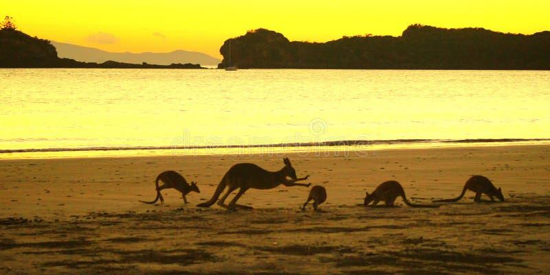 Кенгуруы на пляже стоковая фотография rf