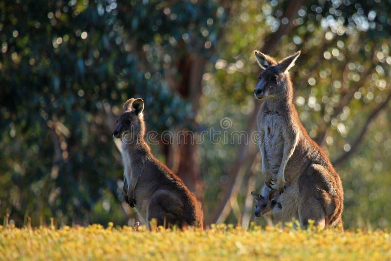 Кенгуруы с Joey стоковое изображение rf