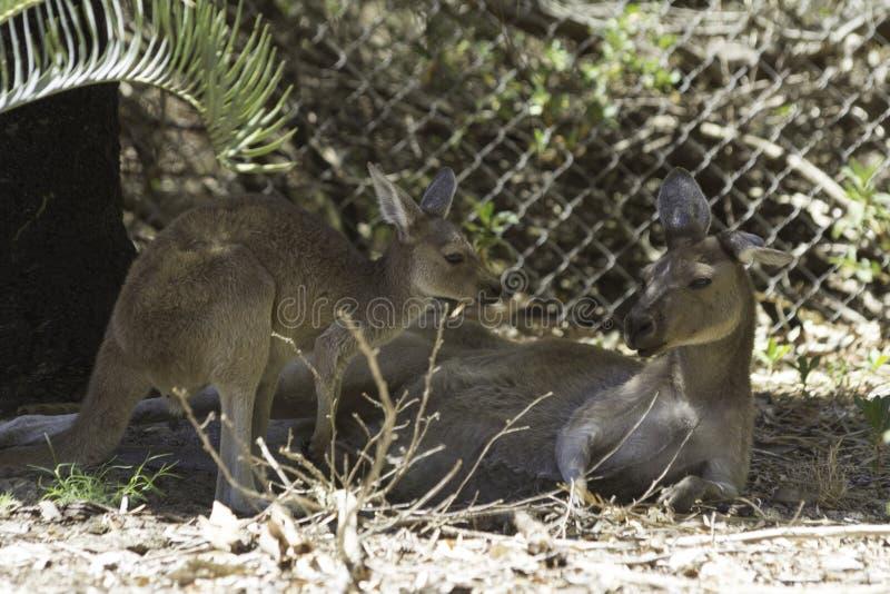 Кенгуру младенца и ее мать отдыхая в одичалом стоковое фото rf