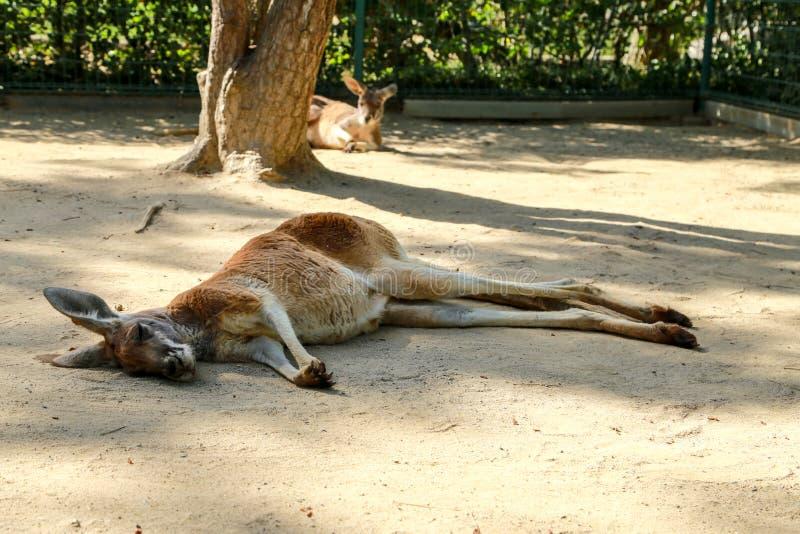 Кенгуру спать стоковое фото rf