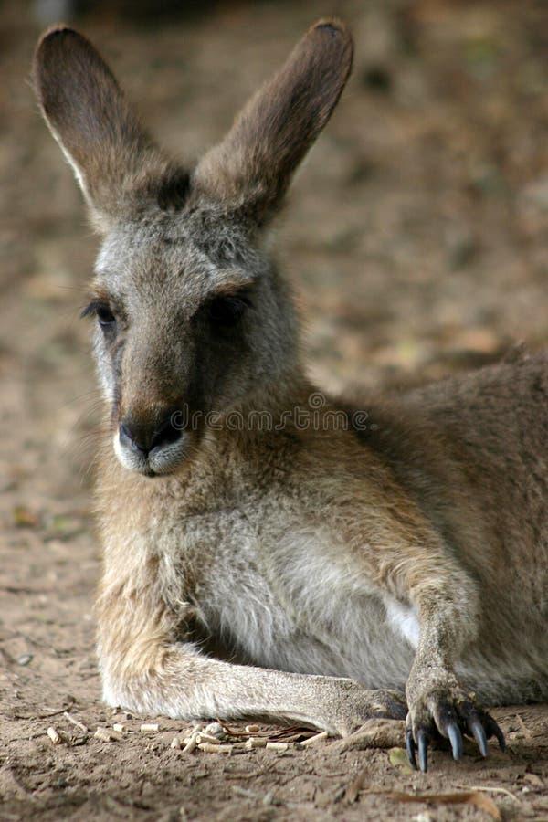 кенгуру стоковые изображения