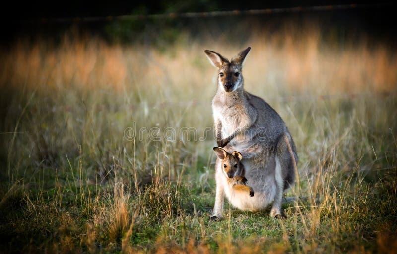кенгуру joey стоковая фотография