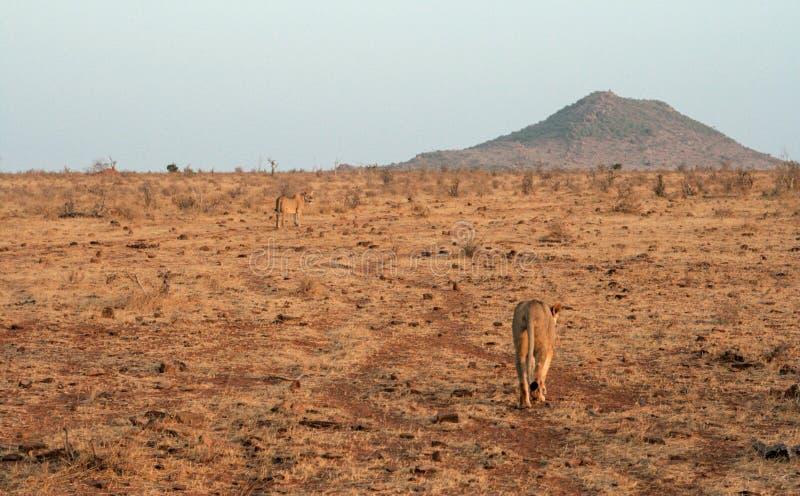 Кения, Tsavo восточное - львы в их запасе стоковое изображение