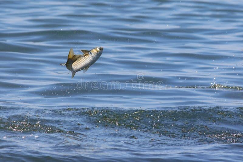 Кефаль скача из воды стоковая фотография rf