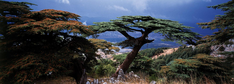кедр Ливан стоковые фотографии rf