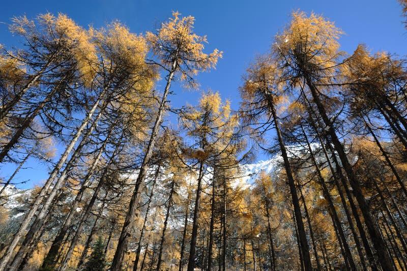 Кедр осени под голубым небом. стоковое фото rf