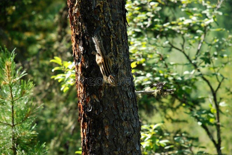 Кедр, роса, дерево, Россия, Байкал, Алтай, путешествие, белка стоковая фотография rf